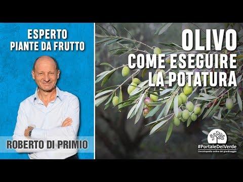 Quando si pota l'olivo? E quanto bisogna potarlo?