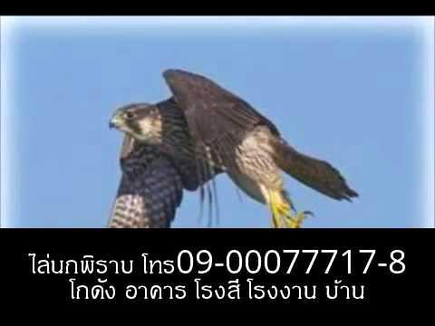 ไล่นกพิราบ ด้วยเหยี่ยว โทร 09-00077717-8