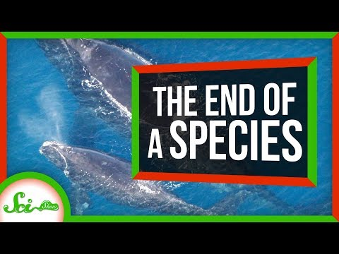 The Beginning of the End of North Atlantic Right Whales? | SciShow News