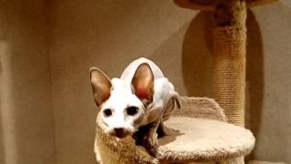 Кошка бамбино не стандарт