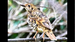 今年はトラツグミにあうのは4回目です、いつものコースで3時間ほどの鳥...