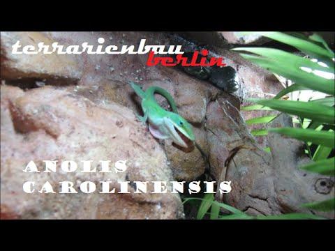 Anolis Carolinensis vs. Mealworm | Rotkehlanolis fängt Mehlwurm seitlich