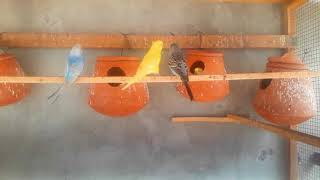 BREEDING PROGRESS OF BUDGIES | BUDGIES COLONY FOR SALE