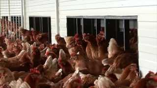 Tulderhof Poultry: Layers In A Free Range House
