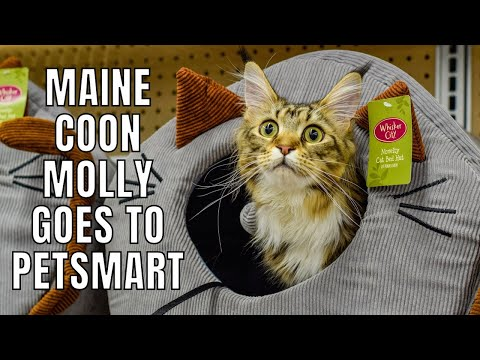 Maine Coon Molly Goes to PetSmart (10 Months)