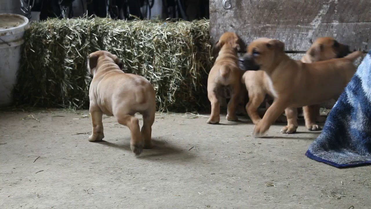 African Boerboel Puppies For Sale Youtube