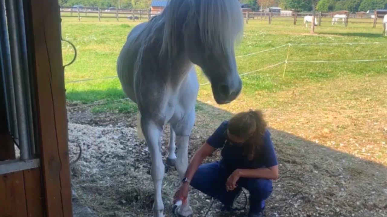 Nos vieux chevaux de la Mare Auzou son soignés par laser !