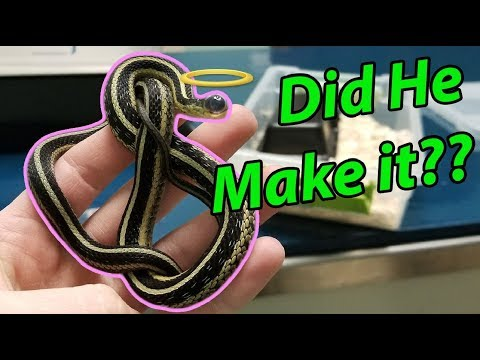 Eye Surgery for Nick the Garter Snake