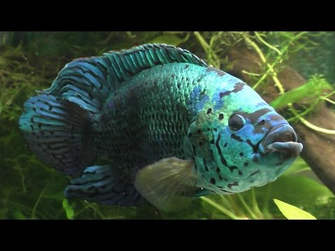 Hand Feeding Worms To My Electric Blue Jack Dempsey