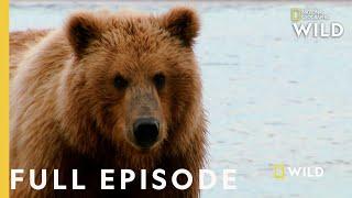 Grizzly Battleground (Full Episode)   Alaska's Grizzly Gauntlet