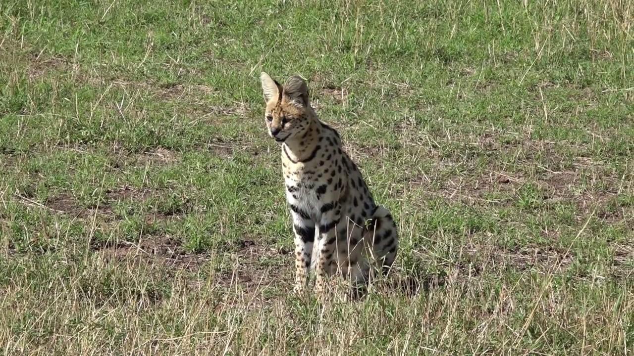 Serval Cat - Masai Mara - Kenya - YouTube