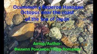 Осьминог у берегов Находки. Octopus near the coast of the Sea of Japan