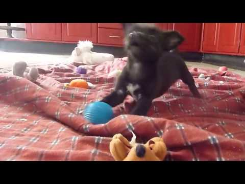 dogs-playing-with-squeaky-toys,-balls-and-puppies