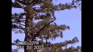 Pruning 18' Diameter Redwood Tree 250' Tall - 16 minutes