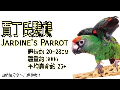 賈丁氏鸚鵡 (Jardine's Parrot)