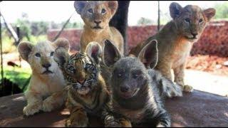 南アフリカで虎とライオン、ハイエナの猛獣が仲良く暮らしている。南ア...