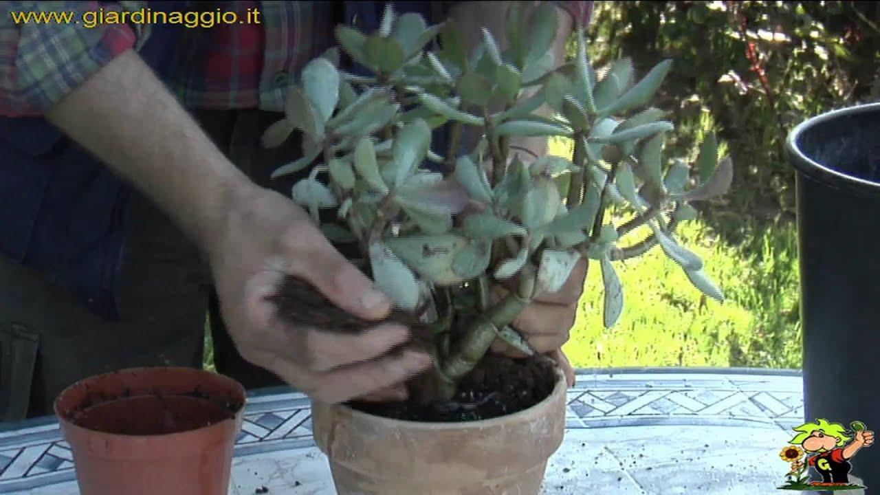 Albero Della Fortuna Pianta coltivare la crassula