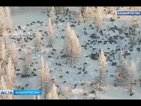 Волки в челябинской области вся правда !стая из 300 волков нападают на деревни