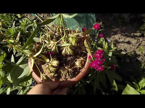 Вопрос: Как составить букет из турецкой гвоздики Какие цветы, зелень добавить?