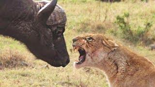 Lion vs Buffalo fight - Buffalo surviving
