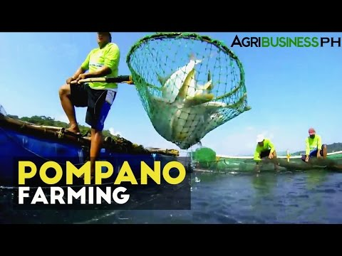 Pompano Farming : How To Manage Pompano Aqua Farm | Agribusiness Philippines