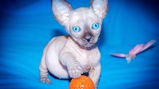 """Рекламный ролик. Котята """"Бамбино"""""""