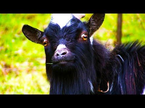 I'm A Goat!