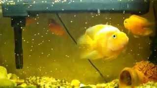 видео Боция клоун: уход, размножение и правильное кормление