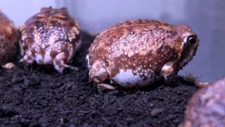 Bushveld Rain Frog Feeding time