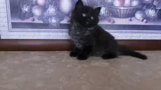 Черный сибирский котик из питомника, возраст 1 месяц 12 дней