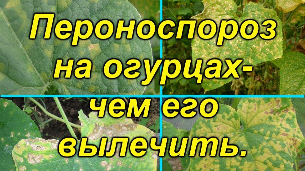 Ложная мучнистая роса (пероноспороз)- вылечите свои растения от этой болезни..