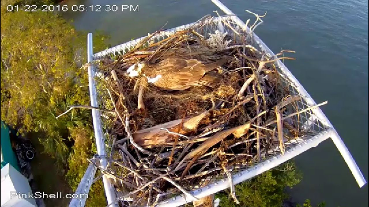 Pink Shell Ospreys Ft Myers Beach Fl 1 22 16 Ricky Lucy Swap Out Shows Us Their Egg