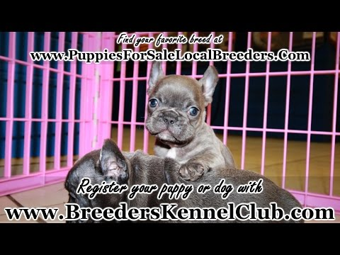 BLUE FRENCH BULLDOG BLUE EYES PUPPIES FOR SALE IN GA LOCAL BREEDERS