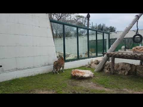 Interaction through the window between lion and tiger