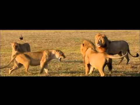 Leona Defiende a sus Cachorros Contra el Ataque de los Machos
