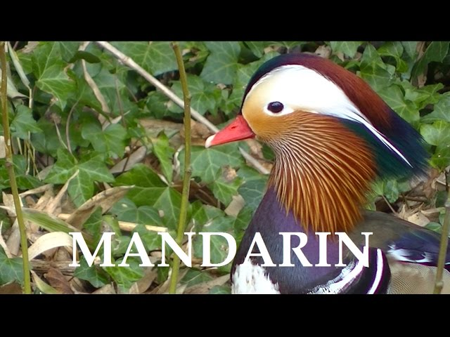 Canards madarins 30738727