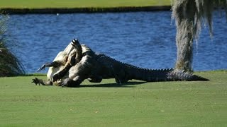 Alligators brawl on Florida golf course