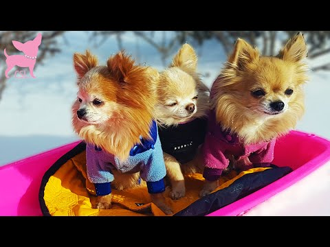 Cute Chihuahua Dogs Riding a Sled and Having Fun in the Snow
