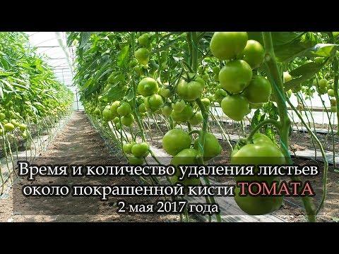 """""""ПОКРАШЕННАЯ"""" кисть томата. Когда и сколько убрать листьев возле кисти."""