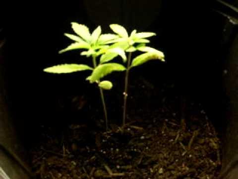 Jizzles Closet Grow Fluorescent 15w 2 Plants