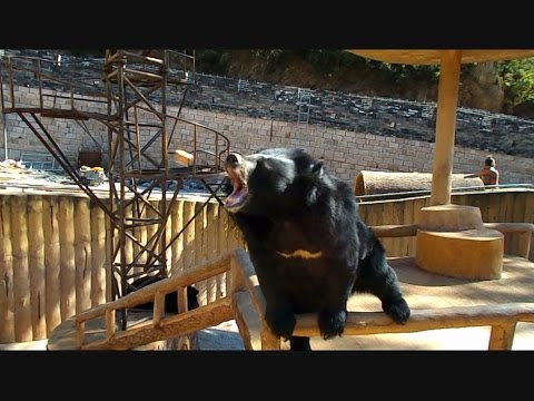 Asian Black Bear - can this be the Yeti?