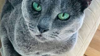 How to tell if your cat is a Russian Blue (Physical Traits Only) featuring Lena the Russian Blue