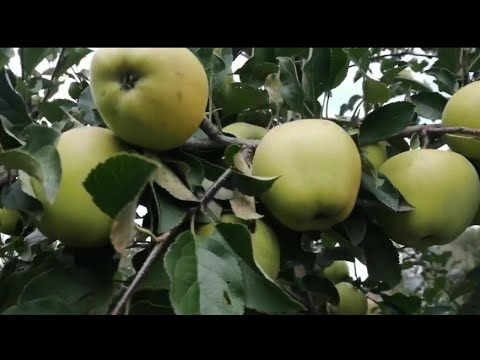 две беды: урожай и неурожай.. борьба с урожаем яблок и груш.. яблоня ,, Лобо,,