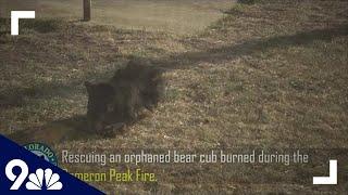 Bear Cub Injured In Cameron Peak Fire Released To Wild