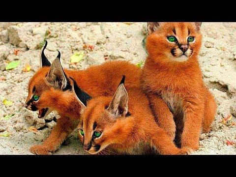 10 Самых Умных Пород Кошек в Мире
