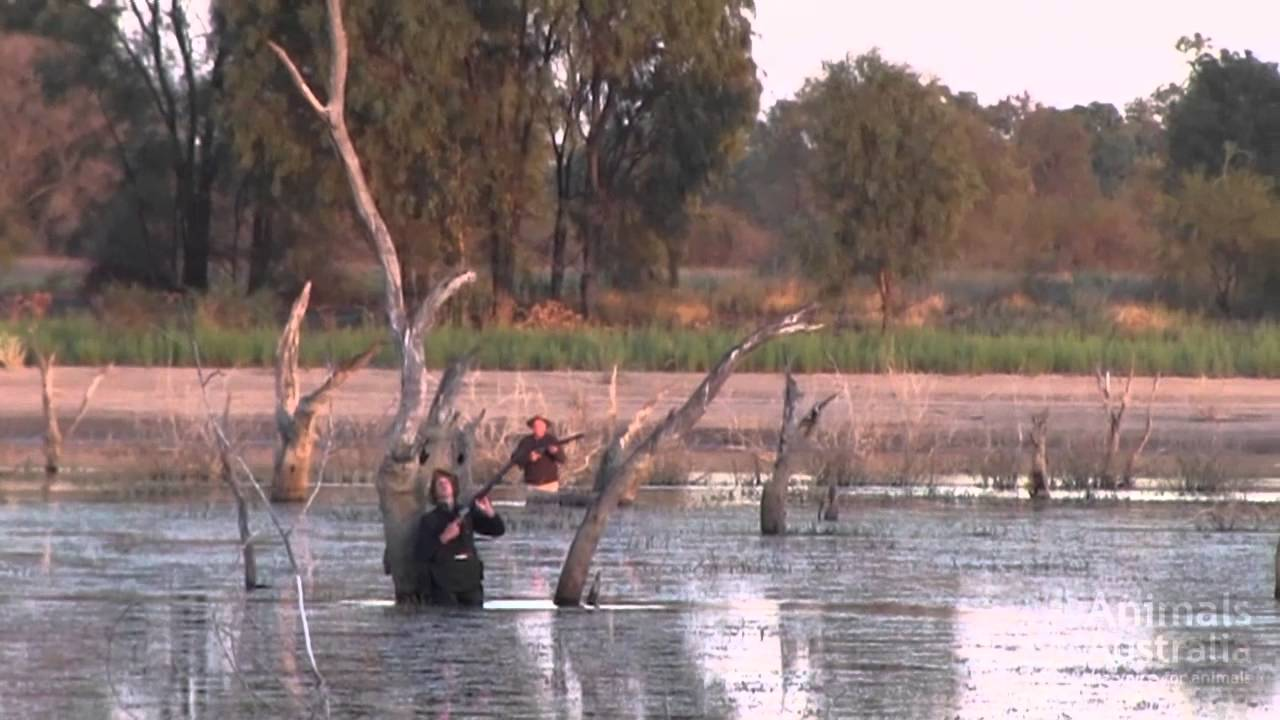 Story: Duck shooting