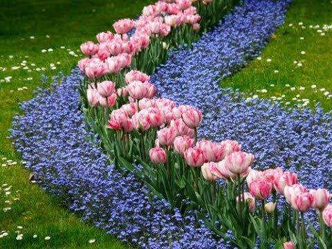 Многолетник - арабис и незабудка как двулетник, посев, цветение