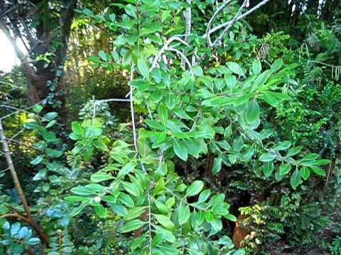 How to Grow Catha Edulis—Khat, Qat, Gat or Miraa | Dengarden
