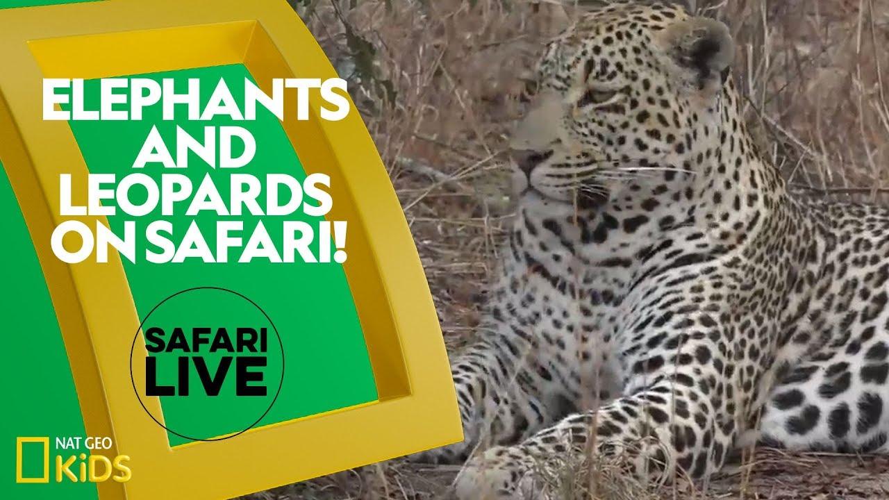 Elephants and Leopards on Safari! | Safari Live
