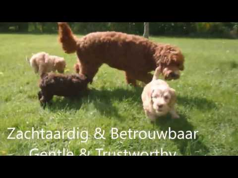 Australian Labradoodle differences between a Boy & a Girl :)
